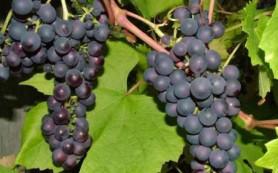 Виноград полезен для сердца мужчин с метаболическим синдромом