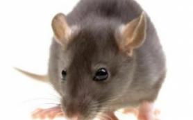 Переливание крови молодых мышей улучшило память старых особей