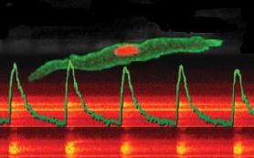 Клетки сердца перепрограммировали в биоэлектростимуляторы