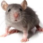 Ученые перепрограммировали нейроны в головном мозге живых мышей