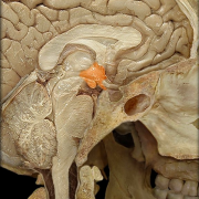 Обнаружены нейроны, управляющие кровяным давлением