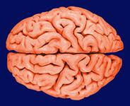 Для сохранения здоровья мозга чаще выбрасывайте мусор
