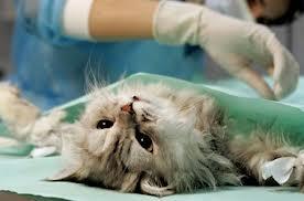 К вопросу стерилизации (Кошек)
