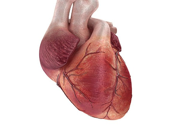 Сердце мужчин и женщин стареет по-разному, доказали ученые