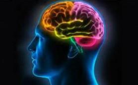 Уровень интеллекта зависит от толщины коры головного мозга