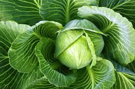 Лечебные свойства капусты.