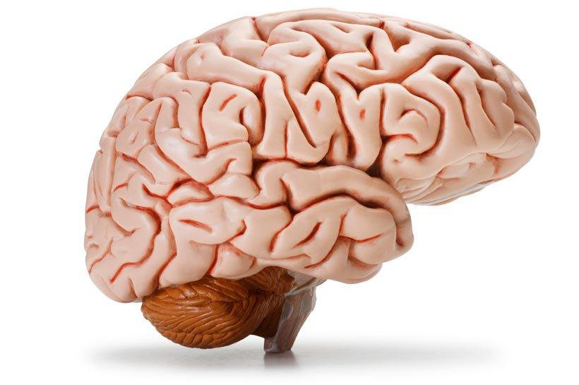 Эволюция снабдила человека уникальной структурой мозга
