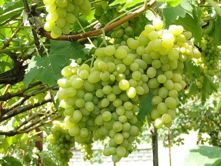 Виноград укрепляет сердце и нервную систему