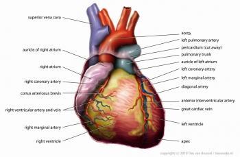 Анатомия сердца человека: развитие как органа, строение