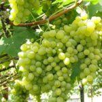 Употребление винограда улучшает состояние сердца