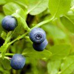 Черника защищает здоровье кровеносных сосудов