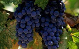 Виноград защищает сердце от опасностей сердечной недостаточности