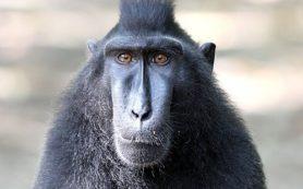С помощью стволовых клеток одной обезьяны вылечили еще пять животных, перенесших инфаркт