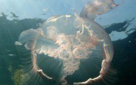 На создание искусственного сердца ученого вдохновило наблюдение за медузами