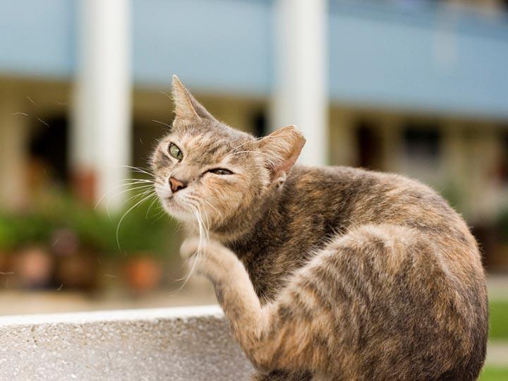Опасны ли кошачьи блохи для человека и откуда они берутся