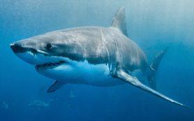 Акулы скрывают ключ к лечению болезни Паркинсона