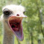Сосуды страусов будут использовать в процедуре шунтирования