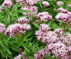 2 растительных средства для повышения эластичности сосудов и профилактики атеросклероза
