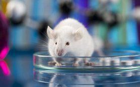 Сибирские ученые: стволовые клетки восстанавливают кровоток при тромбах и ускоряют формирование рубцов