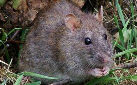 Крысиное сердце превратили в человеческое