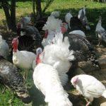 Эффективное выращивание индюков в современном хозяйстве