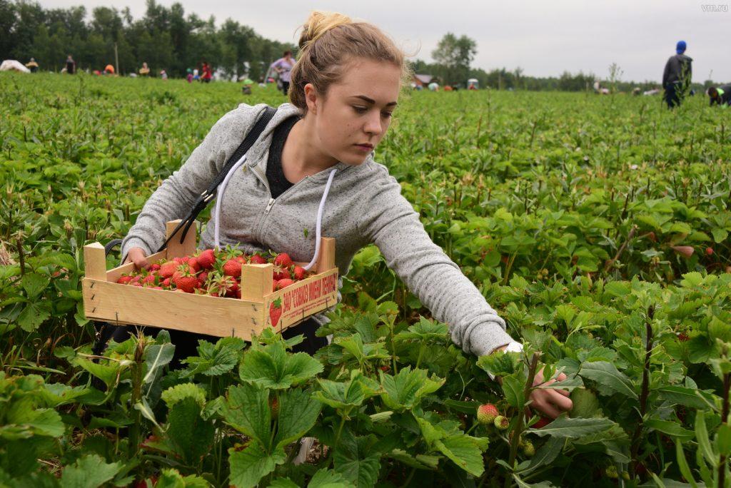 Ядовитый десерт. Какие лесные ягоды смертельно опасны для человека
