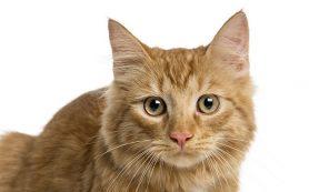В Рязани обнаружили вирус иммунодефицита кошки