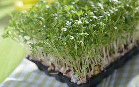 Витамины круглый год: выращиваем кресс-салат на подоконнике