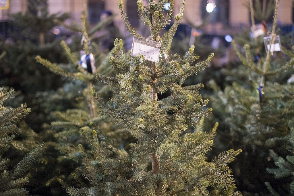 Живые елки в Москве: где и какое можно купить праздничное дерево
