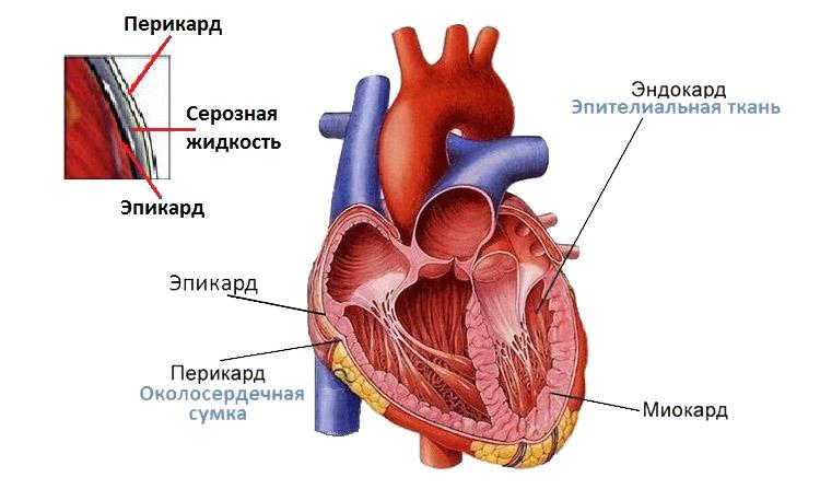 Функции и строение миокарда