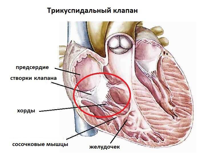 Как устроен трикуспидальный клапан?